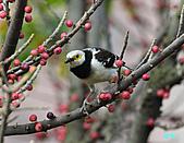 美堤河濱公園的椋鳥:黑領椋鳥.jpg