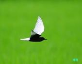 白翅黑燕鷗:110516羅東白翅黑燕鷗_509.jpg