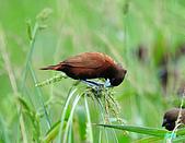 新豐黑頭文鳥:1004015新豐黑頭文鳥_116.jpg