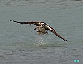 廣興的魚鷹:101109廣興魚鷹_086.jpg