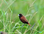 新豐黑頭文鳥:1004015新豐黑頭文鳥_117.jpg