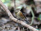 野柳藍尾鴝母鳥:101121藍尾鴝母鳥_028.jpg