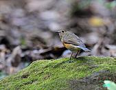野柳藍尾鴝母鳥:101121藍尾鴝母鳥_034.jpg