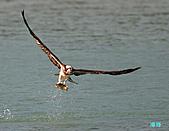 廣興的魚鷹:101109廣興魚鷹_087.jpg