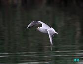 宜蘭紅嘴鷗:111215空中撈魚紅嘴鷗_141-1.jpg