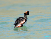 黑頸鷿鵜在金山:120325金山山黑頸鷿鵜_216.jpg