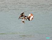 廣興的魚鷹:101109廣興魚鷹_088.jpg