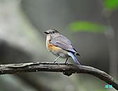 野柳藍尾鴝母鳥:101121藍尾鴝母鳥_038.jpg