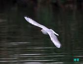 宜蘭紅嘴鷗:111215空中撈魚紅嘴鷗_142-1.jpg