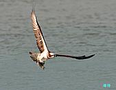 廣興的魚鷹:101109廣興魚鷹_091.jpg
