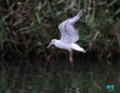 宜蘭紅嘴鷗:111215空中撈魚紅嘴鷗_150-1.jpg
