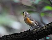 野柳藍尾鴝母鳥:101121藍尾鴝母鳥_041.jpg
