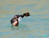 黑頸鷿鵜在金山:120325金山山黑頸鷿鵜_217.jpg