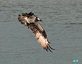 廣興的魚鷹:101109廣興魚鷹_094.jpg