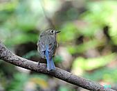 野柳藍尾鴝母鳥:101121藍尾鴝母鳥_116.jpg