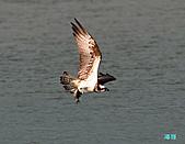 廣興的魚鷹:101109廣興魚鷹_095.jpg