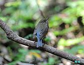 野柳藍尾鴝母鳥:101121藍尾鴝母鳥_123.jpg