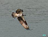 廣興的魚鷹:101109廣興魚鷹_096.jpg