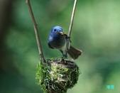 黑枕藍鶲育雛:110606冬山黑枕藍鶲_221.jpg