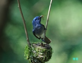黑枕藍鶲育雛:110606冬山黑枕藍鶲_223.jpg