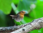 2010野柳秋過境之日本歌鴝母鳥:101127野柳日本歌鴝_261.jpg