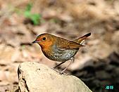 2010野柳秋過境之日本歌鴝母鳥:101127野柳日本歌鴝_044.jpg