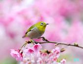 2012繡眼訪花:120219櫻花綠繡眼_003-1.jpg