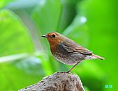 2010野柳秋過境之日本歌鴝母鳥:101127野柳日本歌鴝_158.jpg