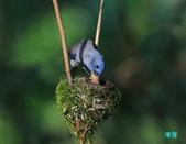 黑枕藍鶲育雛:110606冬山黑枕藍鶲_021.jpg