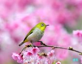 2012繡眼訪花:120219櫻花綠繡眼_009-1.jpg
