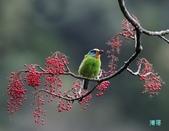 五色迎春:五色鳥0030.jpg