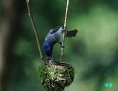 明池鴛鴦:110606冬山黑枕藍鶲_155.jpg