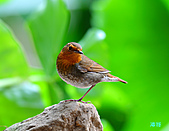 2010野柳秋過境之日本歌鴝母鳥:101127野柳日本歌鴝_160.jpg