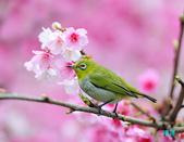 2012繡眼訪花:120219櫻花綠繡眼_114-12.jpg