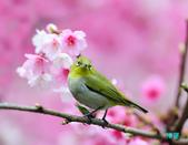 2012繡眼訪花:120219櫻花綠繡眼_118-1.jpg