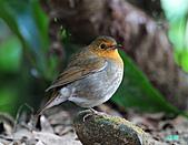 2010野柳秋過境之日本歌鴝母鳥:101127野柳日本歌鴝_224.jpg