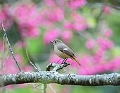 武陵花鳥:2008_02_01武陵0078.jpg