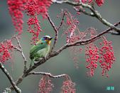 五色迎春:五色鳥0011.jpg