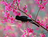 八仙山飛羽迎新春:090131八仙山_7.jpg