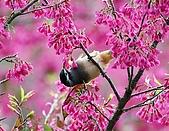 武陵花鳥:2008_02_01武陵0093.jpg