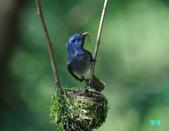 明池鴛鴦:110606冬山黑枕藍鶲_223.jpg
