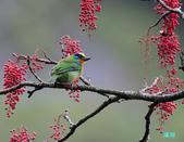 五色迎春:五色鳥0012.jpg