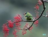 五色迎春:五色鳥0014.jpg