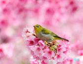 2012繡眼訪花:120220櫻花綠繡眼_166-1.jpg