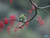 五色迎春:五色鳥0015.jpg