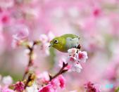 2012繡眼訪花:120220櫻花綠繡眼_003-1.jpg