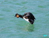黑頸鷿鵜在金山:120325金山山黑頸鷿鵜_006.jpg