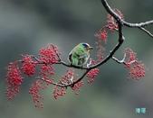 五色迎春:五色鳥0016.jpg