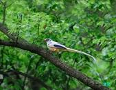 珍貴變異_藍鵲白子:110501三峽藍鵲白子_022-1.jpg