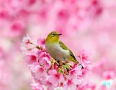 2012繡眼訪花:120220櫻花綠繡眼_161-1.jpg